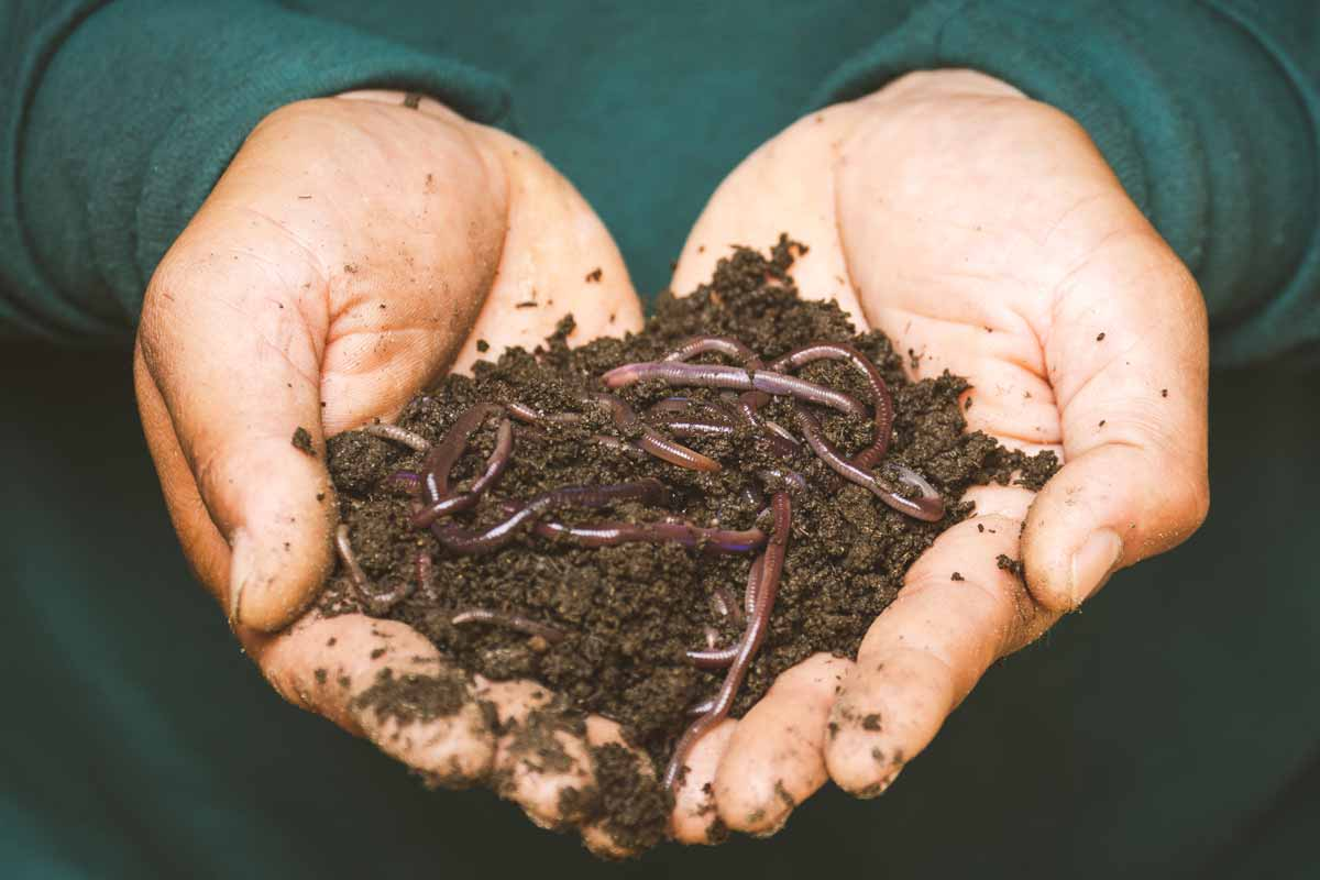 Hands holding a pile of compost worms
