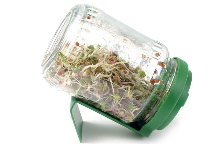 An inverted jar full of sprouted seeds