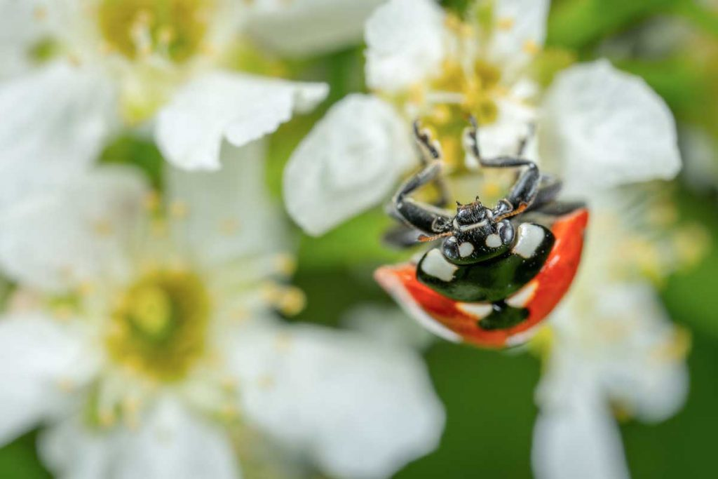 A lady bug on a white flower.