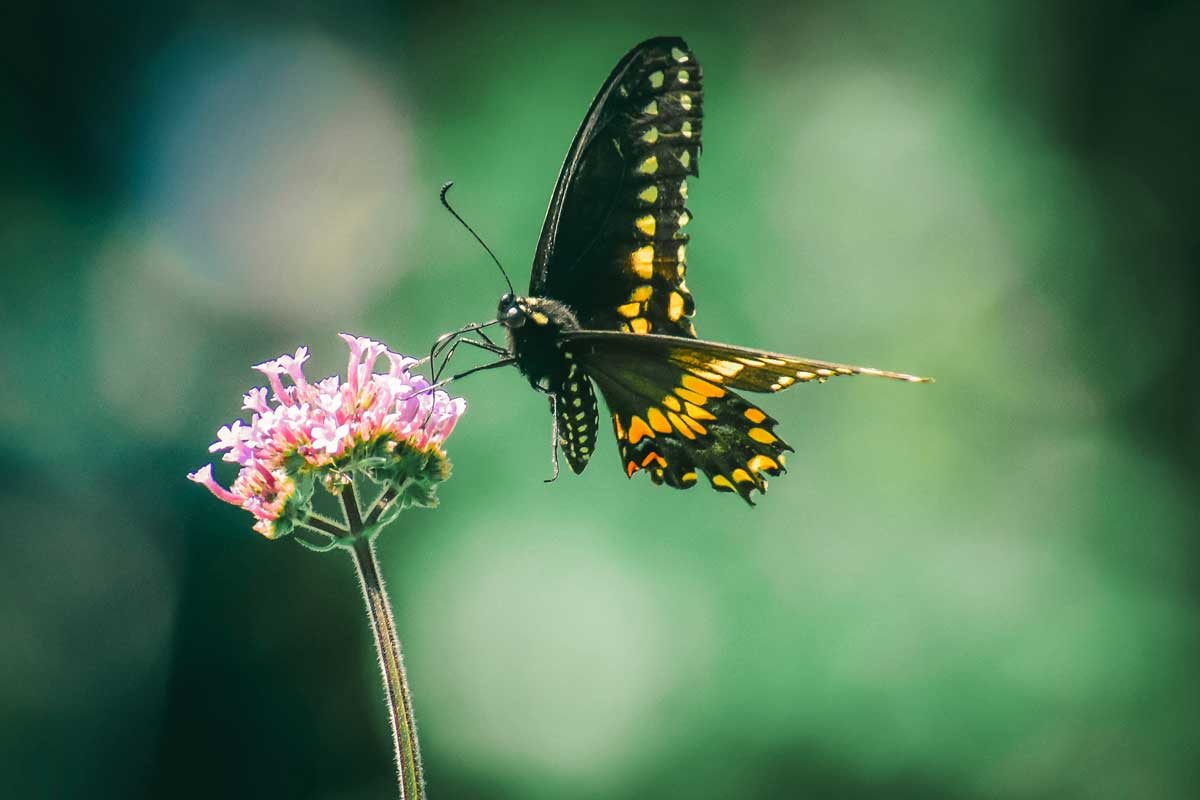 An orange and black butterfly sitting on a verbena flower.